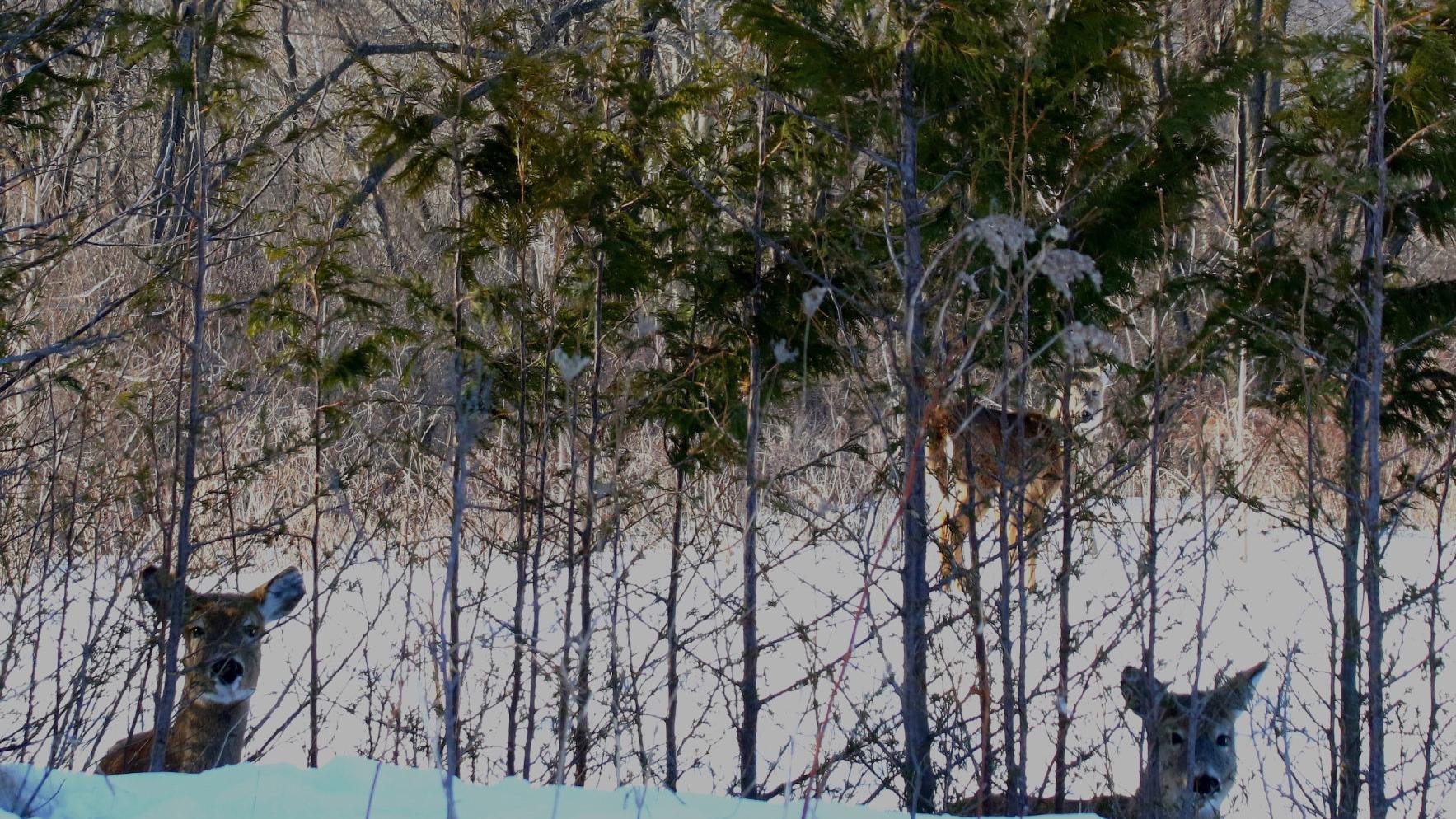 DAVIS COLUMN: Rough winter likely taking a toll on deer herd