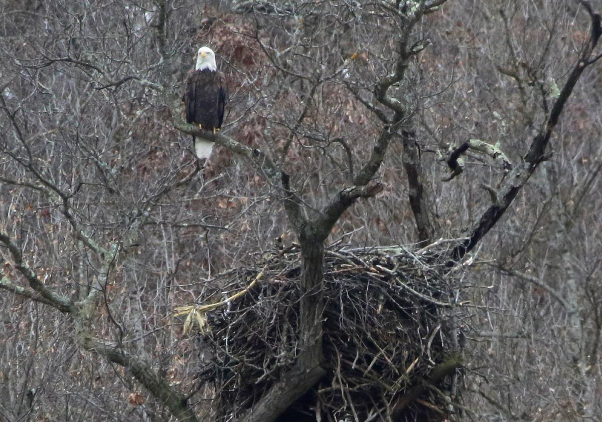 Eagle above nest