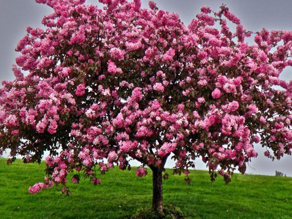 Crab Apple Trees Bust Or Boon Home Garden Wiscnews Com