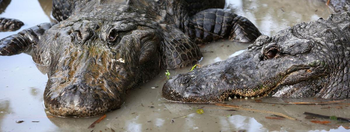 Alligators and other Gatorland residents are featured in new social media platform shows that the attraction will produce while it is closed for the coronavirus pandemic.