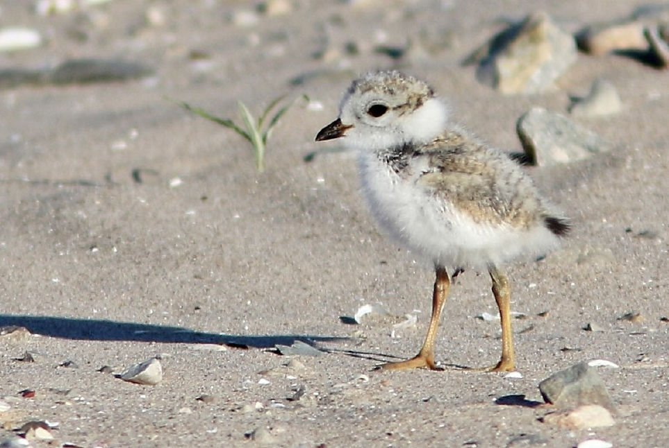 Piping plover chick on the shore.