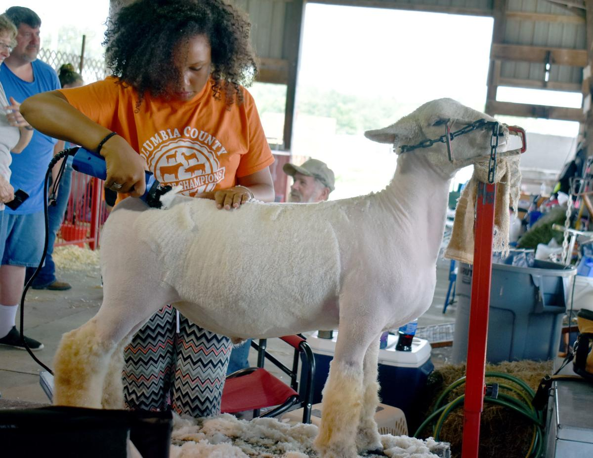 Sheep readied for judges