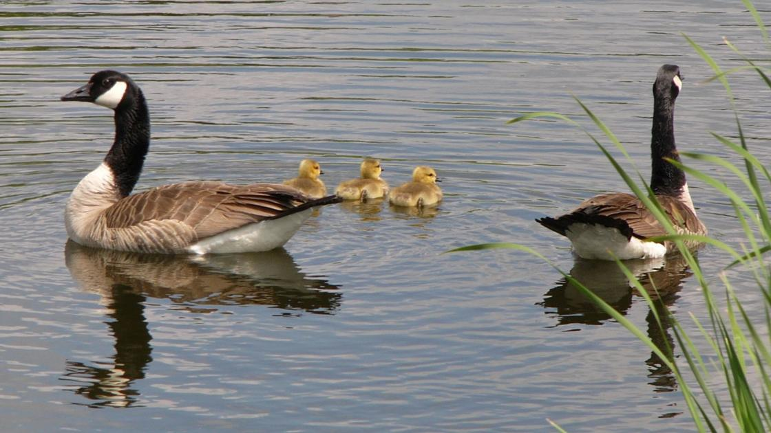 Three boys reprimanded after authorities say the beat a goose to death in West Baraboo park
