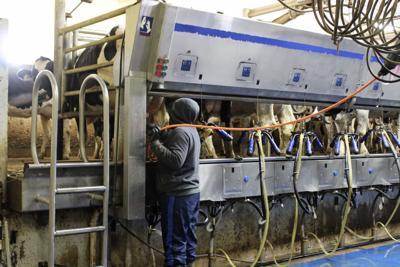 Dairies Puerto Rican Workers