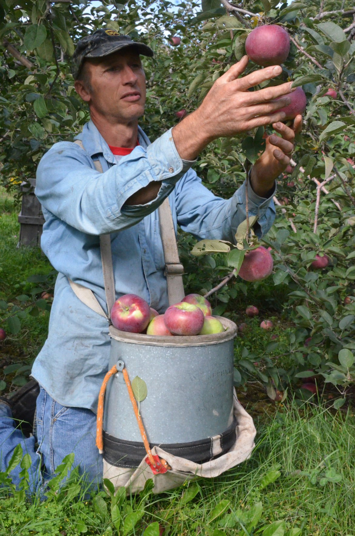 Dale Stieve Hand Picks Apples At Ski Hi The Same Way It Was Done Over A Century Ago