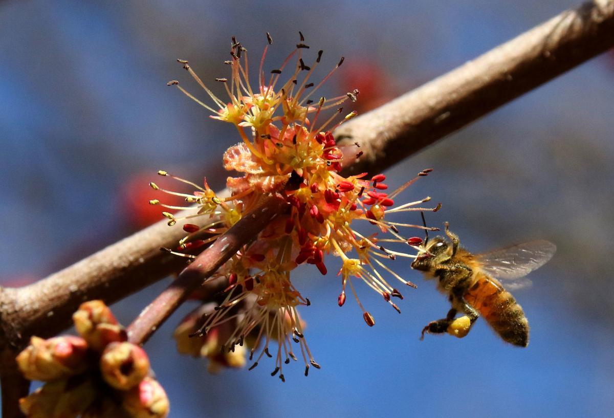 Pollen on bee
