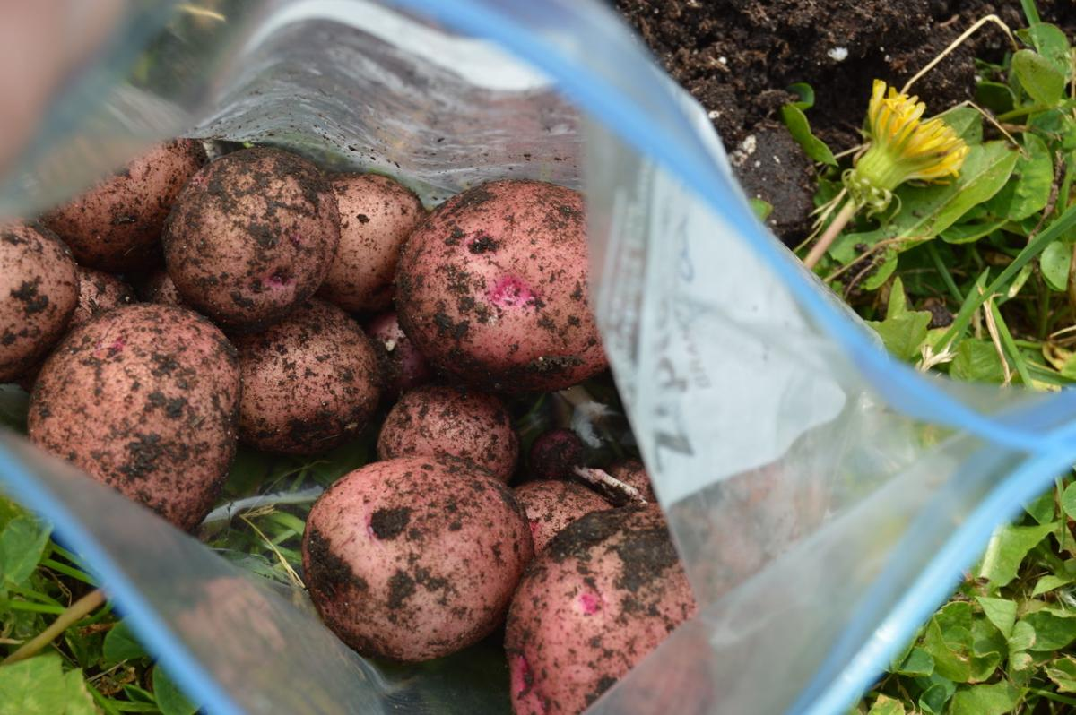 how to grow pink eye potatoes