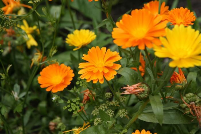 Save marigold seeds to plant