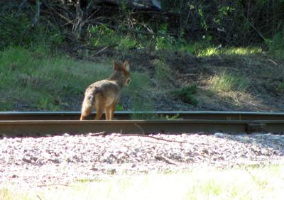 Coyote on the rails