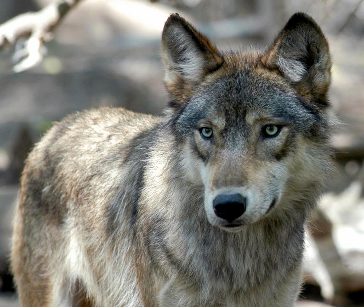 Proposed wolf hunt