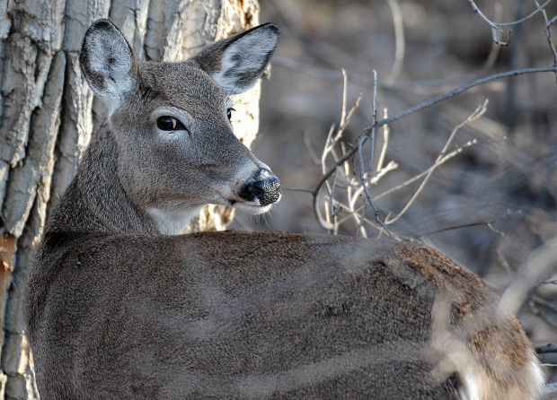 Antlerless gun deer hunt runs Thursday through Sunday