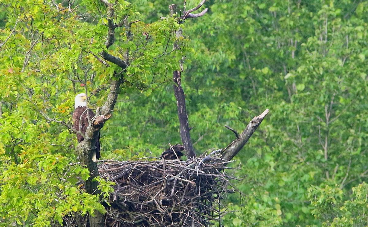 Eaglet Nest