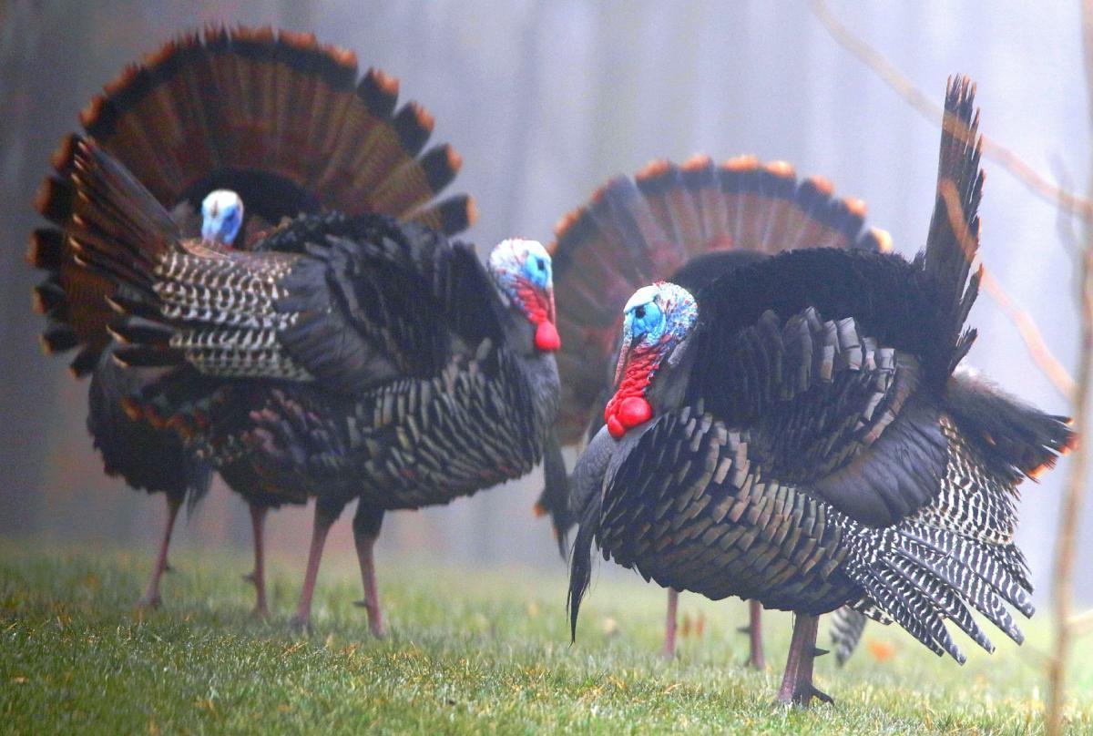Turkeys in fog