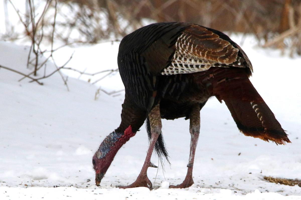 Turkey feeding