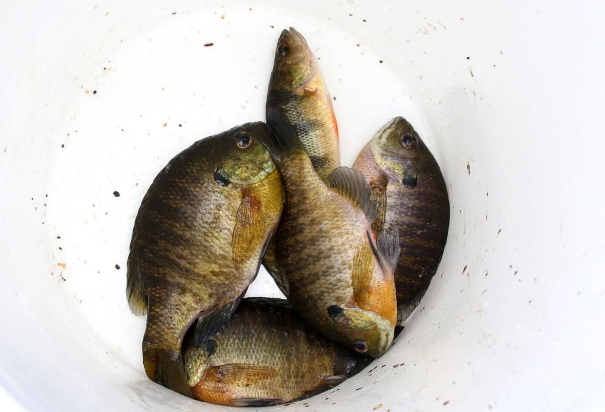 Bluegills and perch