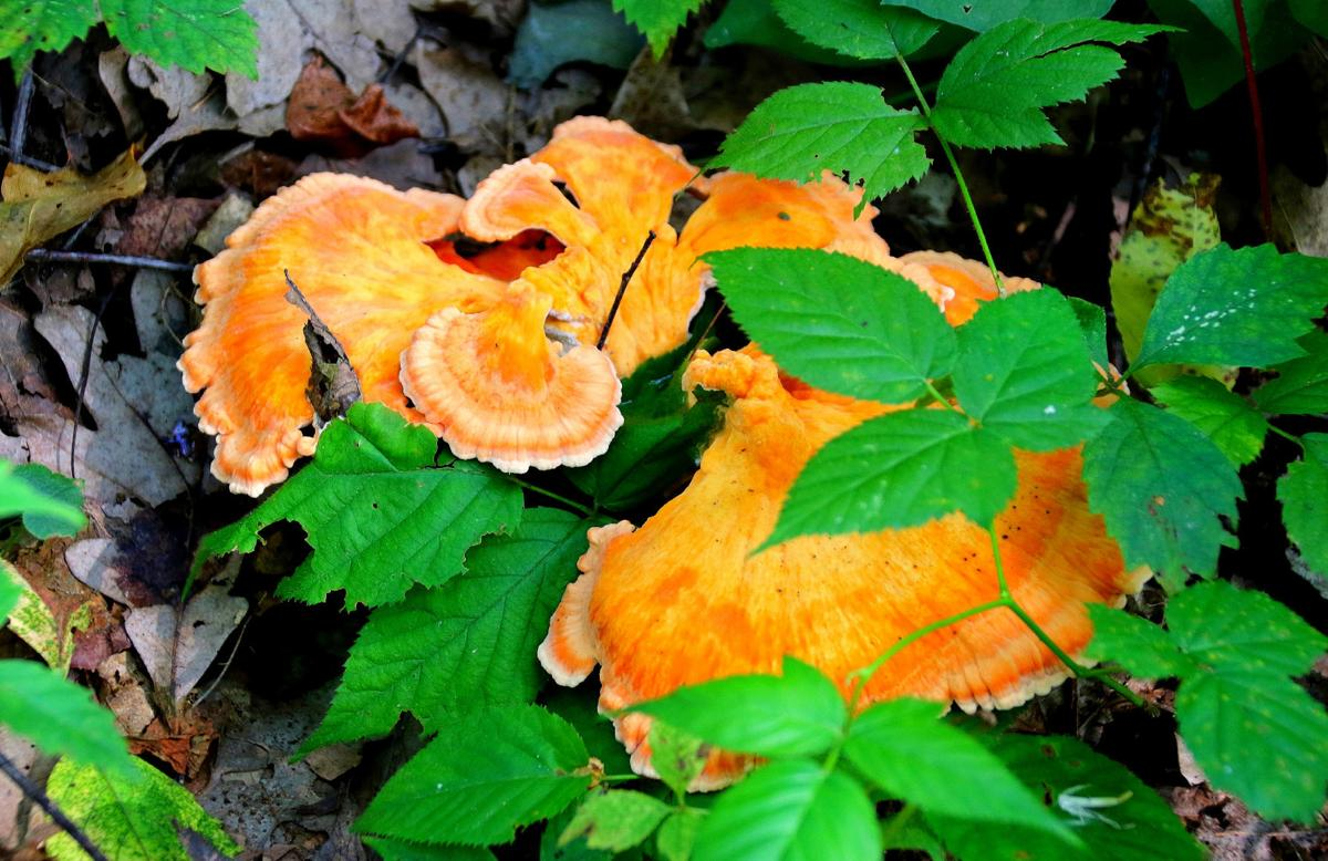 Chicken-of-the-wood fungi