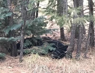 AZGFD investigating black bear poaching north of Woods Canyon Lake