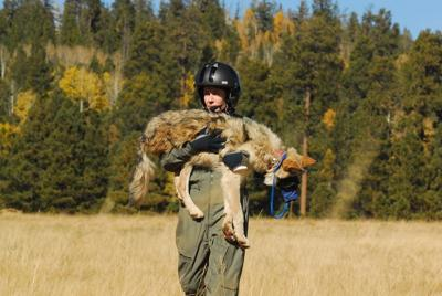 Flight operations to begin Feb. 7 for annual Mexican wolf population survey