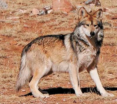 Mexican gray wolves blamed for 28 livestock kills in 2013