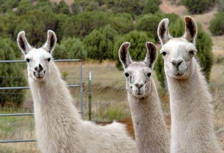Image result for llama group