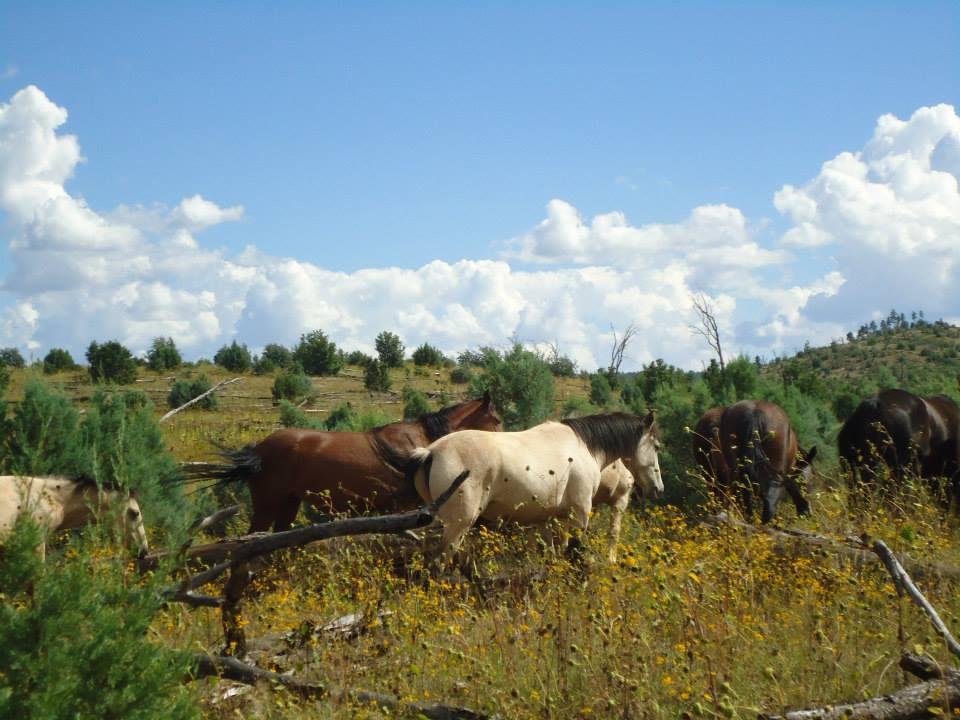 Heber free-roaming horses