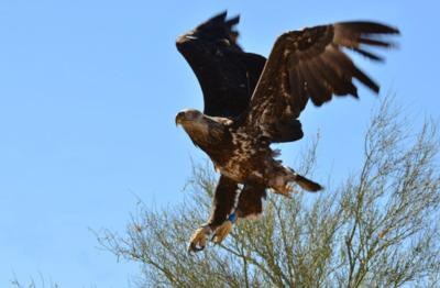 Bald eagle breeding areas expand, number of nestlings dips in 2019