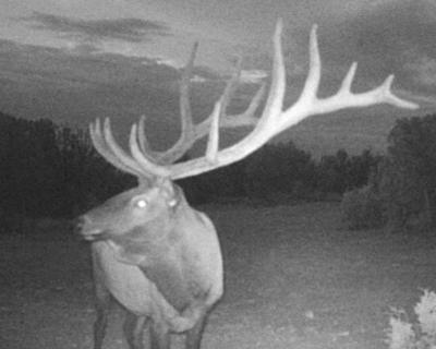 bull elk poached