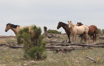 Heber Wild Horses Management Plan  - buckskin herd