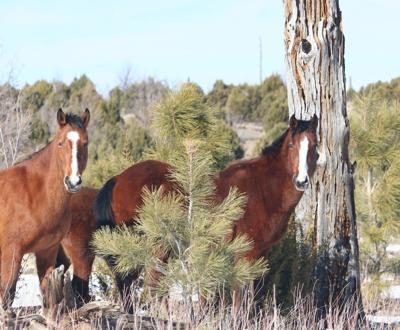 USFS releases Heber Wild Horse management plan draft - 3 horses in forest
