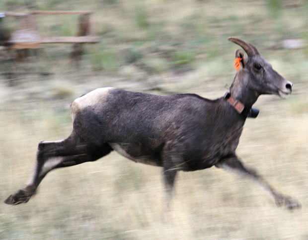 Rocky Mountain bighorn sheep herd roaming new range