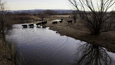 Cows cross Little Colorado River