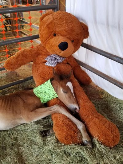Rescued foal after injury