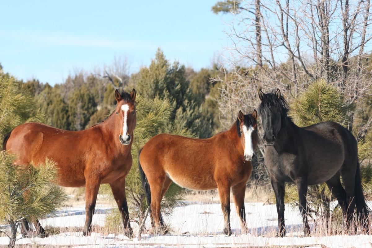 Three mares-Heber wild horses