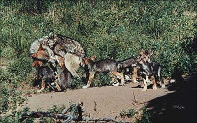 Mexican gray wolf with pups