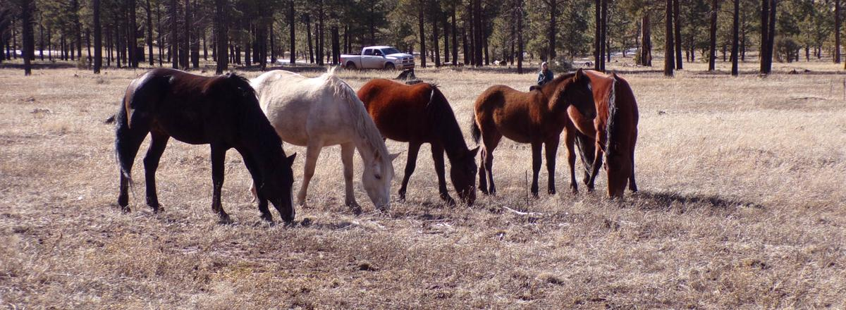 Heber Wild Horses group picture