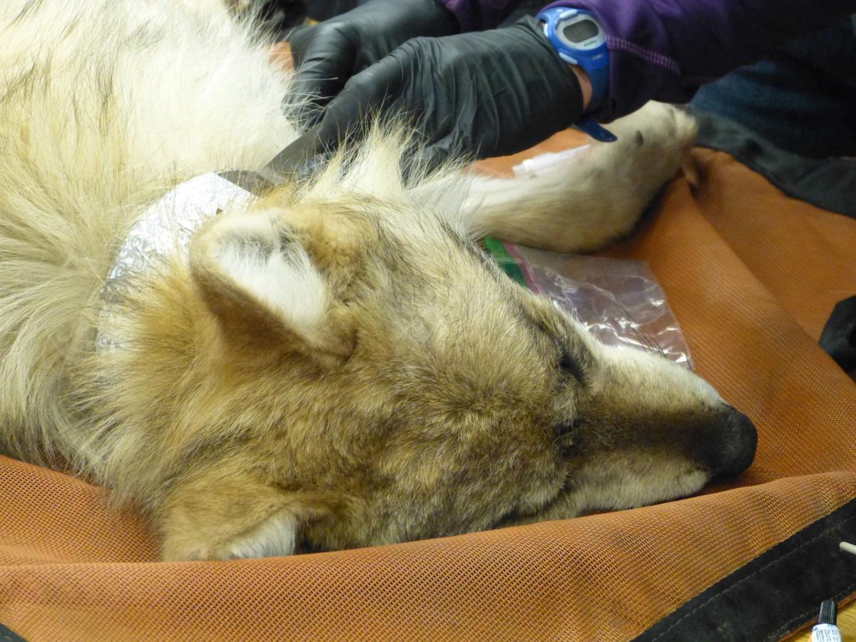 Sedated wolf