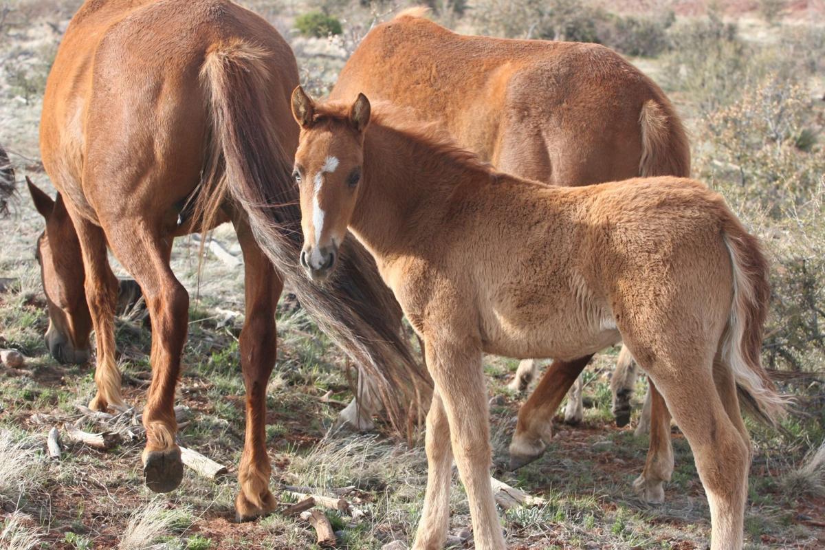 Heber Wild Horse herd