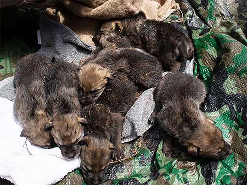 Cross-fostered wolf pups