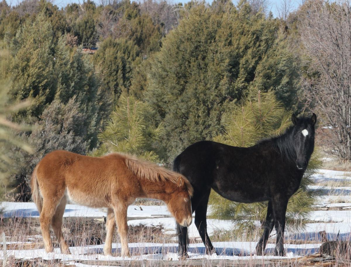 Mare and yearling-Heber wild horses