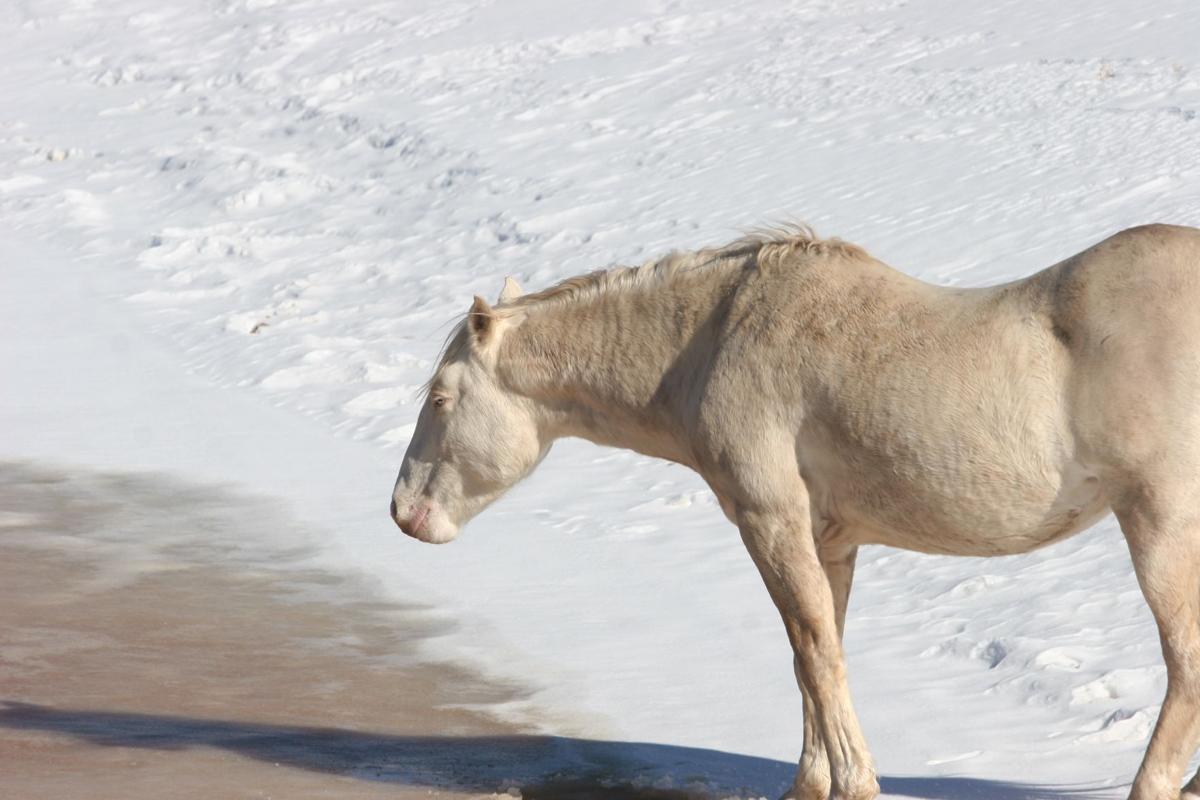 Heber Wild Horse in winter