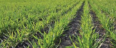 Wheat forage