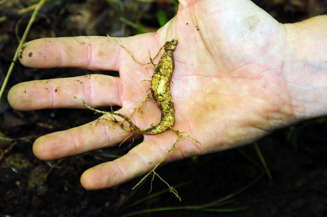 Wild Ginseng season underway in West Virginia | Local