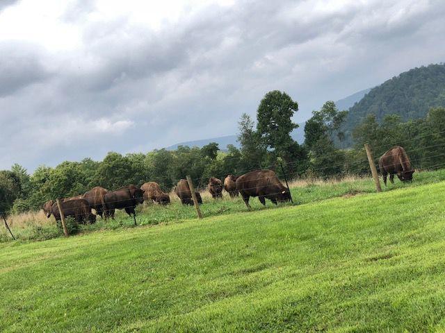 Riffle Farm Bison
