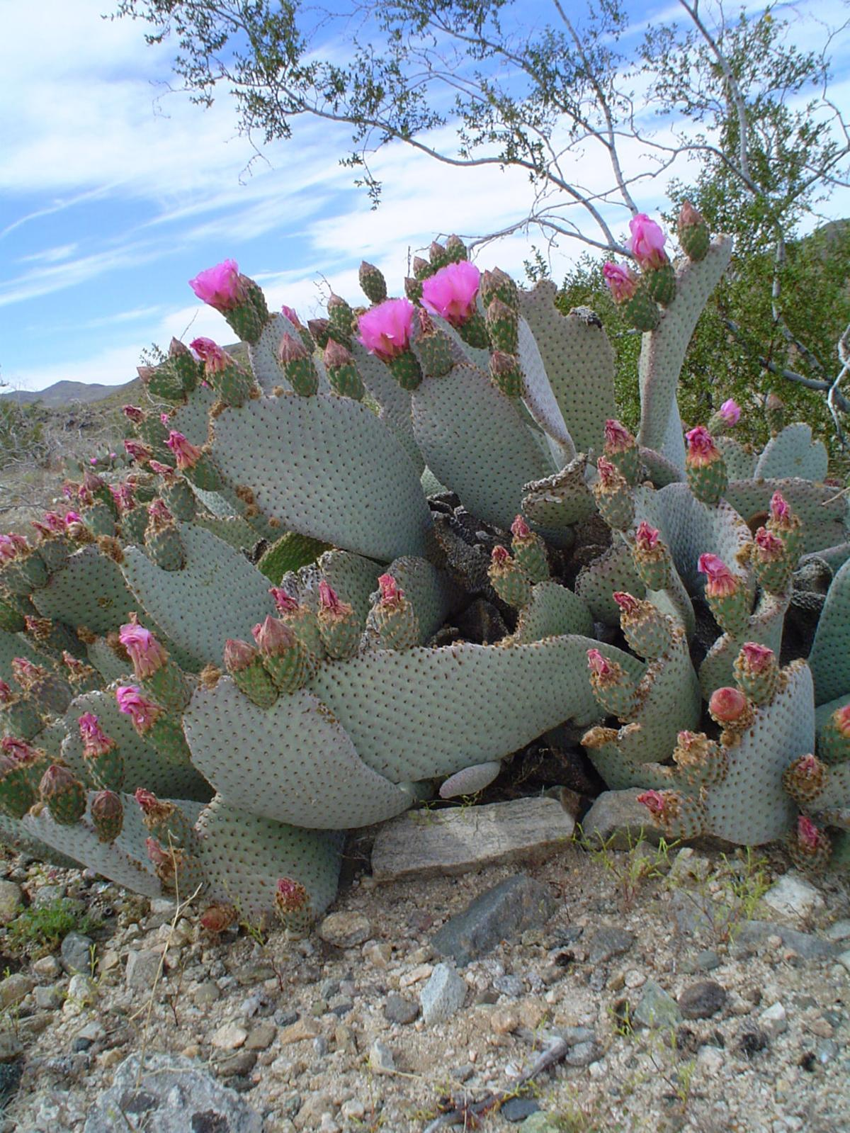 Yardsmart Beware The Prickly Pear Cactus Wvnewscom