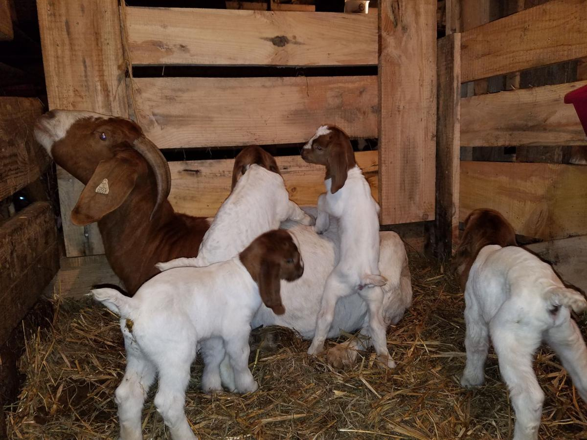 Quadruplet goat kids born at Lazy Dayz Farms | Community | wvnews com