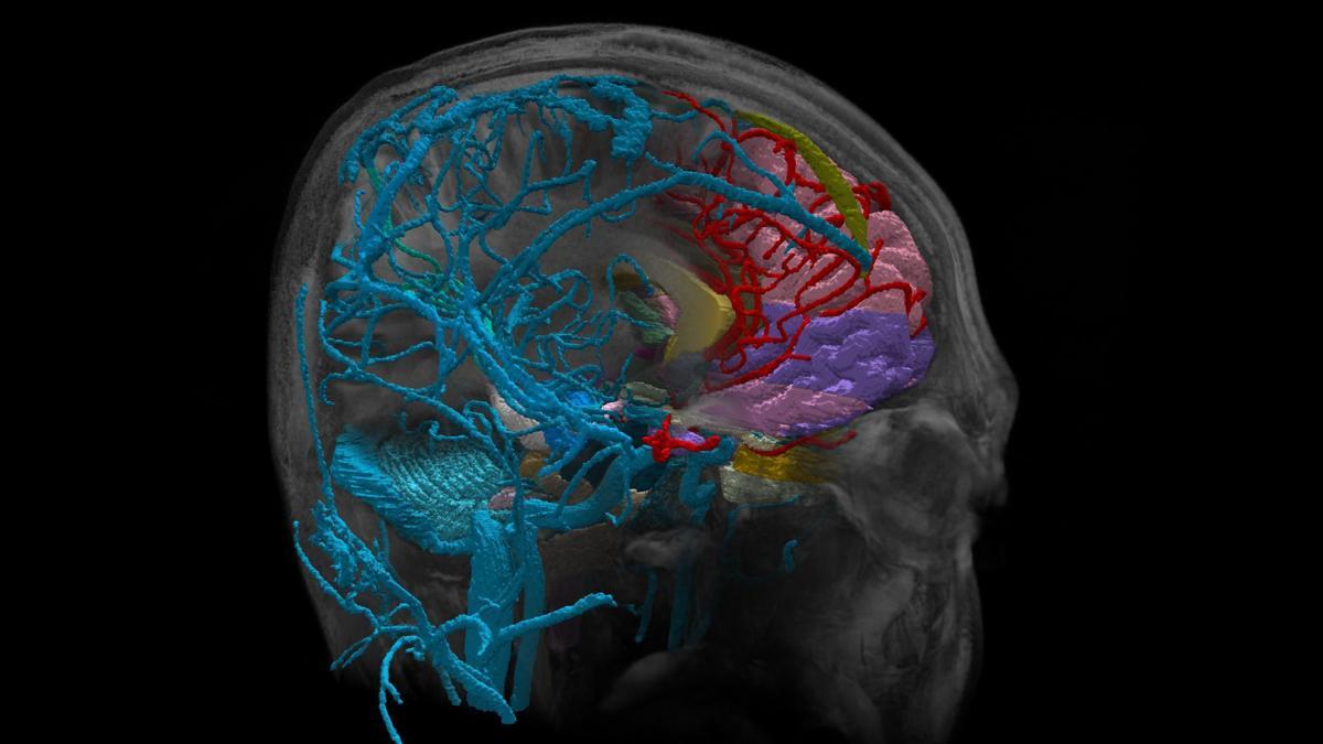 human brain in detail