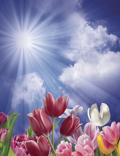 Tulips in sun rays