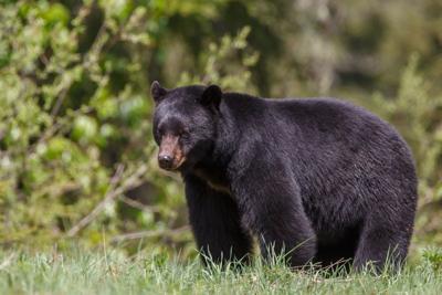WV bear season