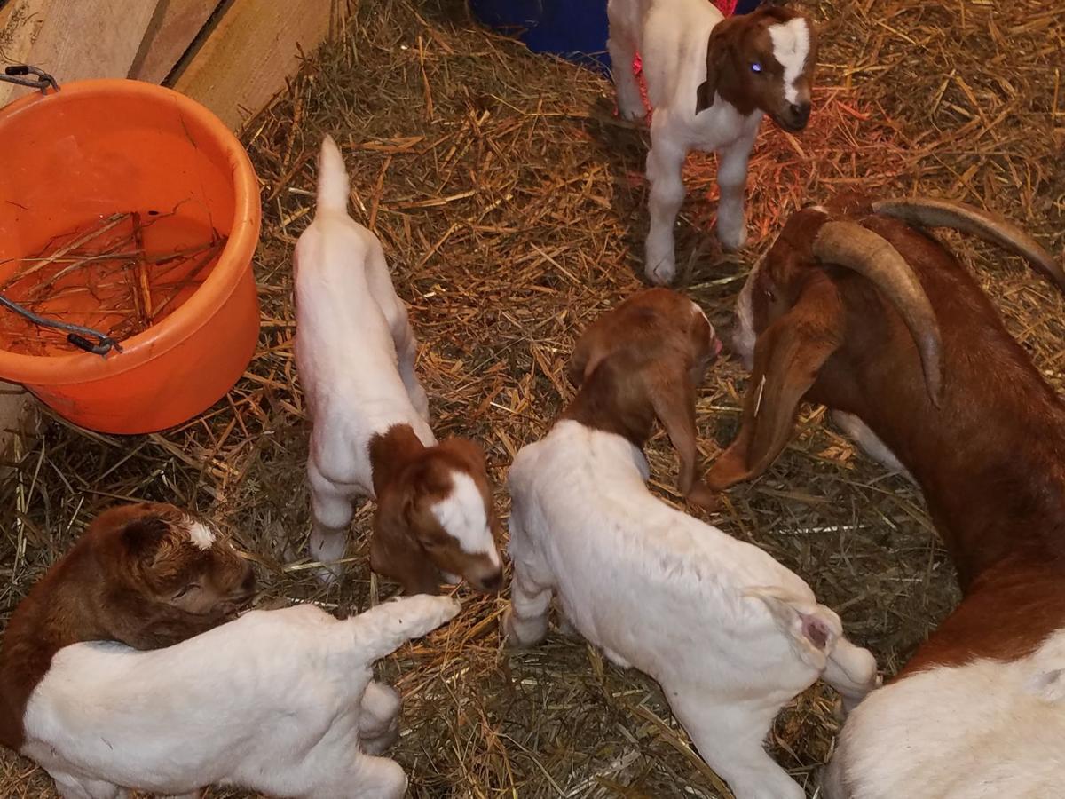 Quadruplet goat kids born at Lazy Dayz Farms | Community