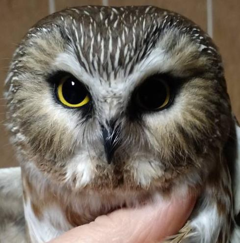 Close-up of Northern saw-whet owl